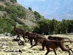 Gelada-baboons