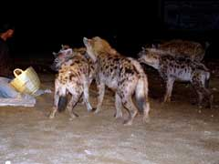 Hyenas at Harer
