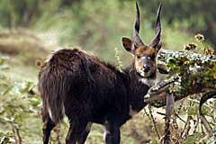Ethiopian menelik bushbuck