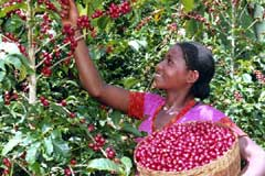 collecting coffee berries