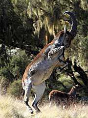 Ethiopian walia ibex