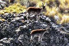 Walia Ibex at Chenek